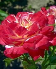 клубничная роза