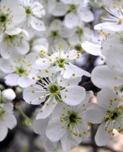 белые цветы-1