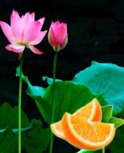 лотос и апельсин